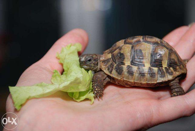 Сухопутная черепашка , неприхотливые сухопутные черепахи