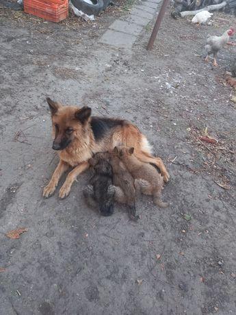 Продаю щенков, 2.5 месяцев