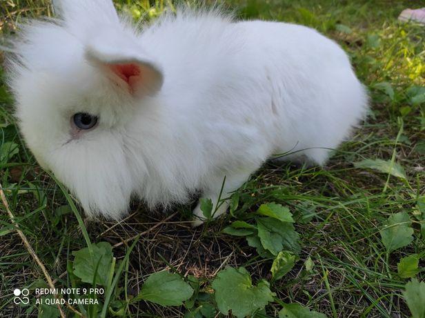 Кролик декоративный ( самка)