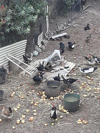 Vende se patos mudos e galinhas e ninhadas de galinhas e patos