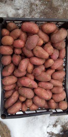 Картошка Рет  Леди