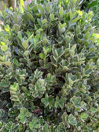 Arbustos Verde e branco para jardim