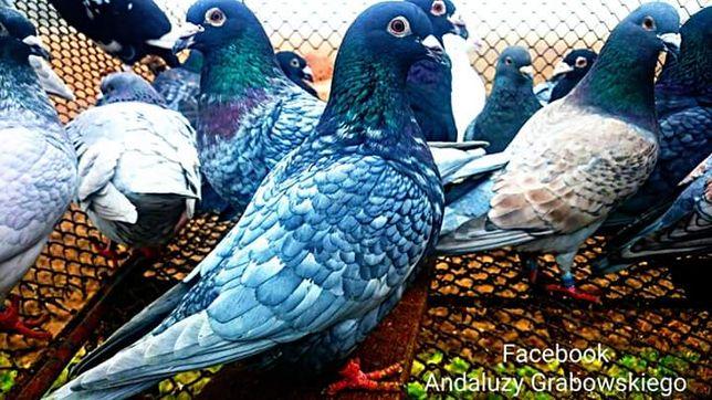 Gołębie pocztowe andaluzy