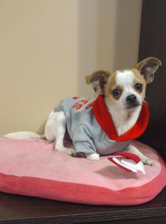 Chihuahua pies biało-rudy xs