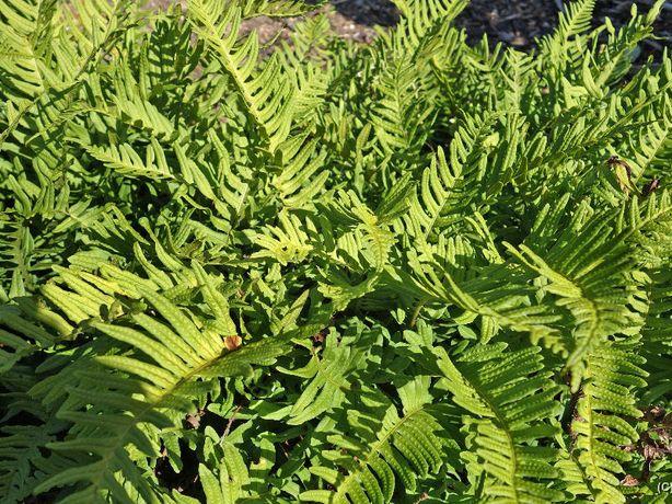 Paproc zwyczajna zimozielona, Paproc Setiferum - różne odmiany
