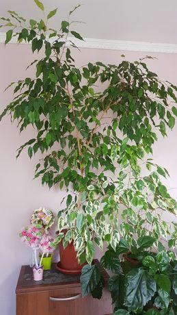 Цветок Фикус бенджамина для озеленения дома или офиса 1,4 м