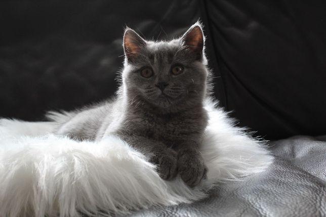 Kociak Kotka Brytyjska