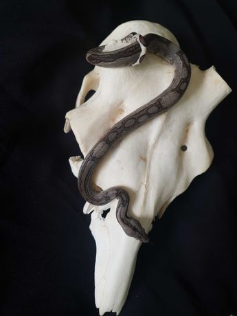 Wąż imperator Jungle het Leopard 66 het Albino, Samiec 7.