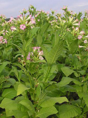 +1500 Sementes de tabaco golden virginia