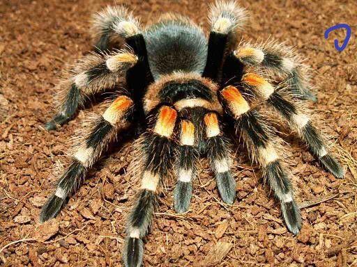 малыши яркого паук птицеед для новичка brachypelma smithi павук птахої