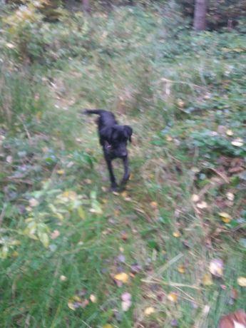Дратхар мисливська собака