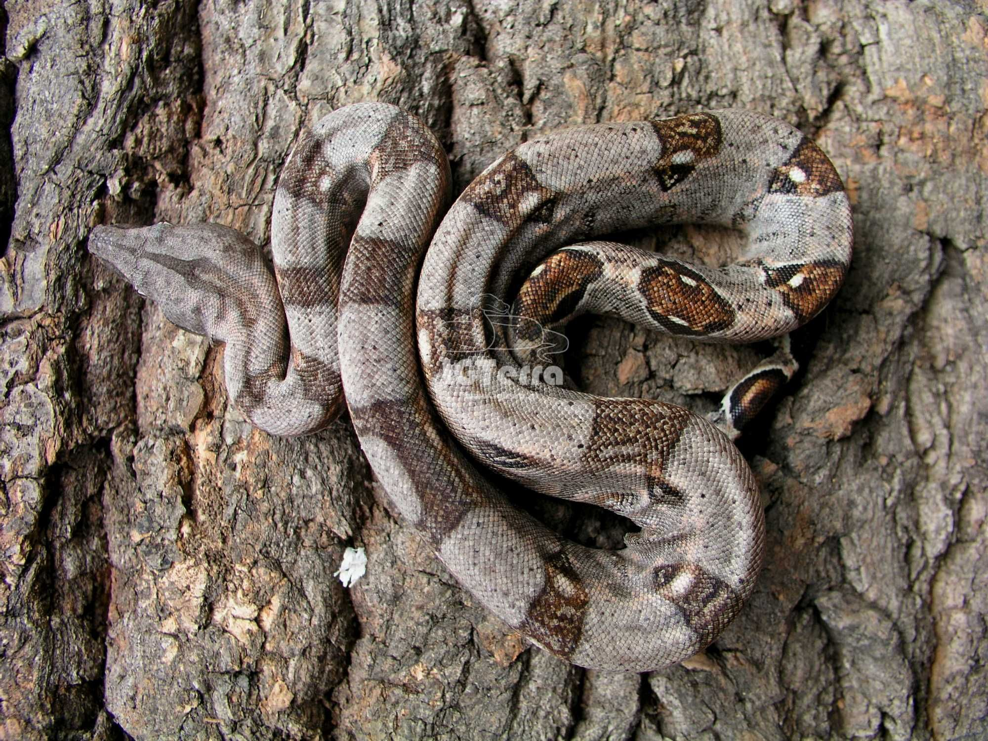 Wąż- B. cesarski Samiec 100% het. VPI T+