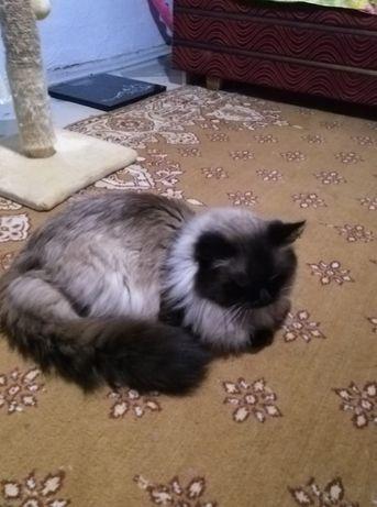 """вязка котов породы тайский """"Баллинез"""""""