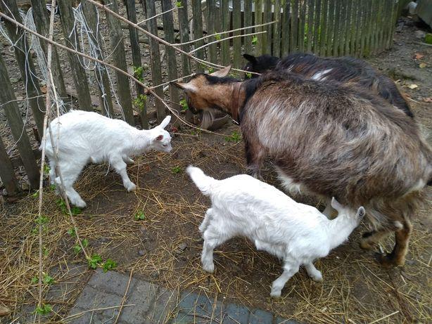 Продам дійну козу / коза дійна