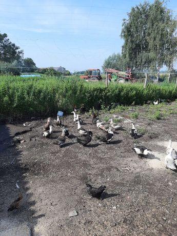 Kaczki     mulard
