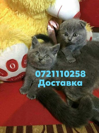 Продаются голубые котята