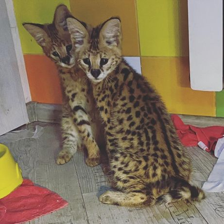 Пятнистые африканские сервалы - элитные котята