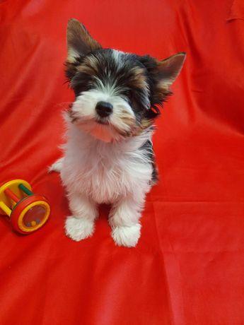 Красивые щенки Бивер екшерского терьера, КСУ.