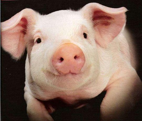 Забой свиней +380722063154