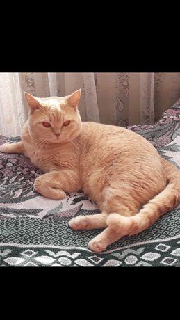 Вязка. Шотландский прямоухий котик