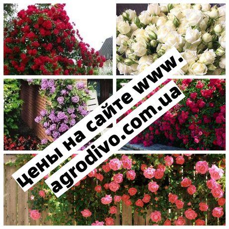 Саженцы новых сортов роз на осень! Все сорта на сайте agrodivo.com.ua
