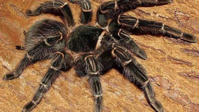 Lasiodora parahybana, самка (ласиодора парахибана) паук птицеед