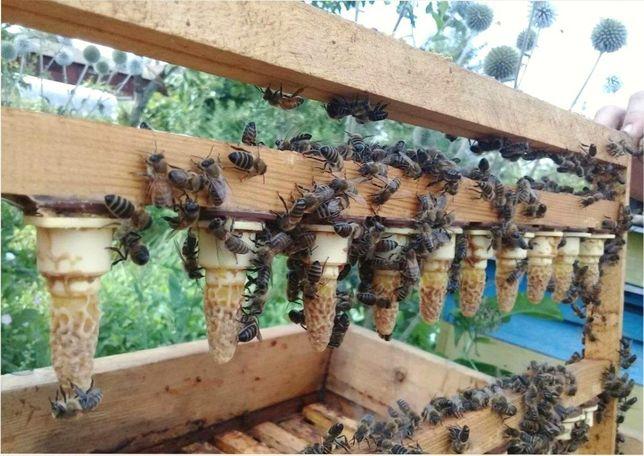 Облетавшиеся Пчеломатки Порода Бакфаст F1 от селекционной материнкий