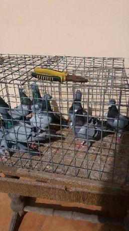 Sprzedam gołębie pocztowe obrączkowe 50szt likwidacja hodowli