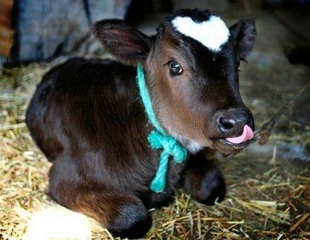 Телиць, биків, корів