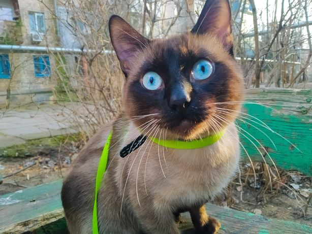 Сиамский котик для случки