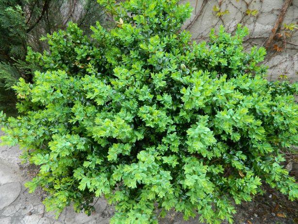 самшит зеленый разного размера