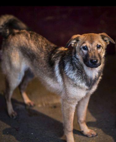 Молодые активные собаки 10 месяцев девочки метис лайки