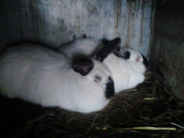 Кролики (строкач, Ф.баран, серебро,обер, калифорниец ,белый Великан