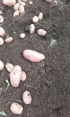 Batatas novas vermelhas