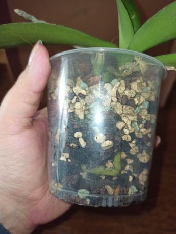 Орхидея Candy 3, подросток