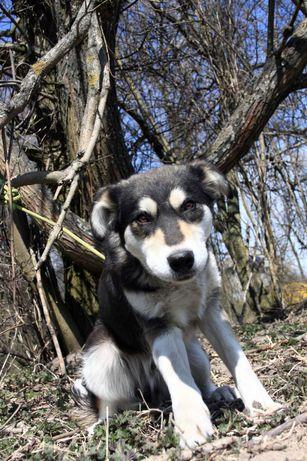 Wyrostek mix husky ok 9 miesięcy szuka aktywnego domu
