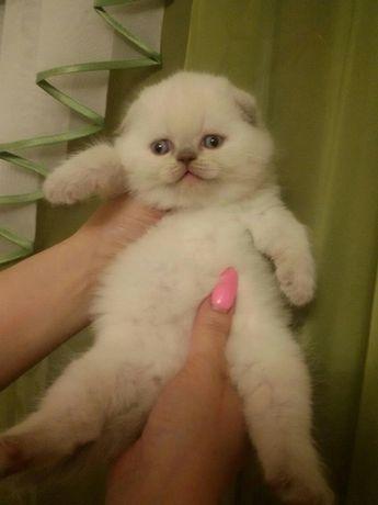 Вислоухие с голубыми глазами котята, ждут родителей!