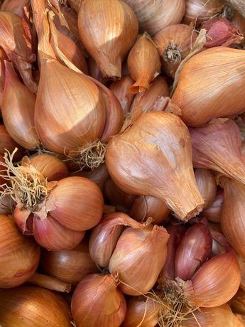 Елітна Цибуля лук для весняної посадки, корчовка на перо для насіння