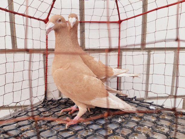 Rzeszowski rzeszowskie samiec samica 2020 rok ptaki gołębie ozdobne