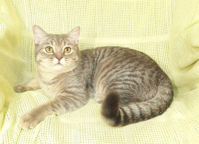 Мальчик подросток от золотой шиншиллы, шотландский котенок 9 мес.