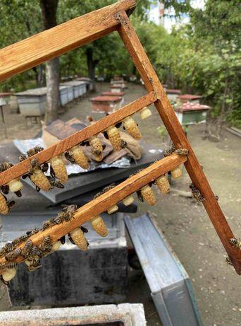 Пчеломатки 2021 Настоящая -100% Продам Карпатская плела.