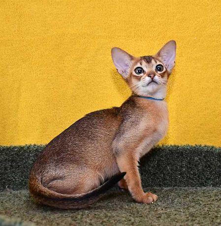 абиссинская кошка - крошка