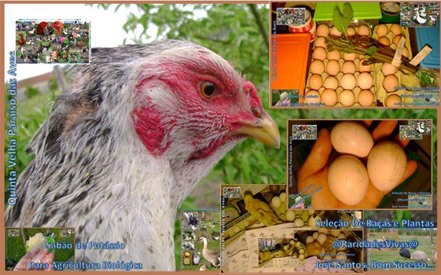 Ovos Índios Brasileiros Top (Pai + 1m e Galinhas Gigantes)