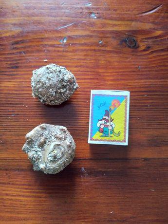 Продам клубни калл Голландской селекции.Чистые, обработаны от вредител