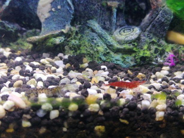 Camarão de aquario