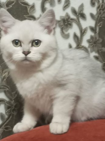 Продам шотландского котёнка