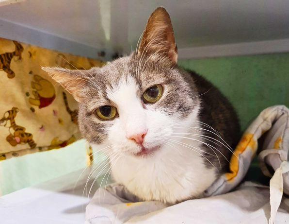 Дымчато-белая неженка - кошка Шеба | кошечка, котенок 1 год
