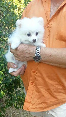 Белая девочка-померашка, идеальна для разведения, в семью! 3 месяца