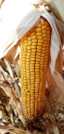 Kukurydza mokra około 25t