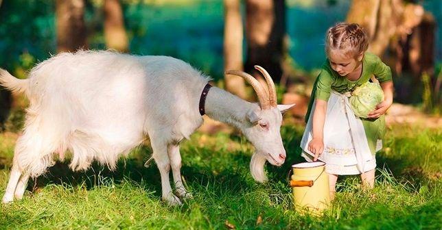 Продам козье молоко  от Нубийских коз